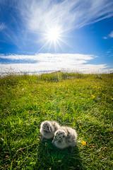 Gullable (Richard Larssen) Tags: richard richardlarssen rogaland sony scandinavia sel1635z norway norge norwegen nature seagull bird larssen landscape light a7ii egersund