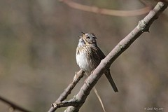 1.29685 Bruant de Lincoln / Melospiza lincolnii lincolnii / Lincoln's Sparrow (Laval Roy) Tags: lavalroy aves oiseaux birds passeriformes lincolnssparrow melospizalincolnii bruantdelincoln embérizidés eos7d ef300mm14lisextender14xiii rondeau ontario