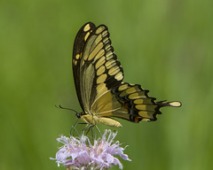 Giant Swallowtail (Papilio cresphontes) (AllHarts) Tags: giantswallowtailpapiliocresphontes spac hollyspringsms naturesspirit thesunshinegroup sunrays5 butterflygallery