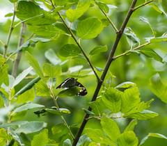 P1000054 (Zana Benson) Tags: whiteadmiralbutterfly