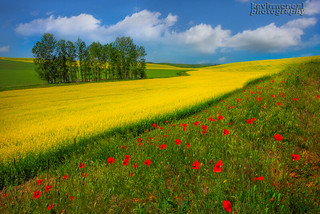 Rows Of Poppies And Canola