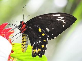 Cairns Birdwing - female