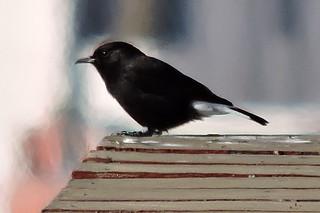 Black Wheatear, Oenanthe leucura