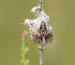 Oxyopes sp. on guard (Phil Arachno) Tags: mönchbruch oxyopidae arachnidae spider spinne germany hessen deutschland chelicerata arthropoda