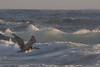 IMG_3922 (armadil) Tags: mavericks beach beaches californiabeaches bird birds pelican pelicans flying