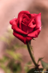 Romantic Red Rose (kyrsos.) Tags: summer blooming blooms blossom botany closeup color delicate flora florist flower fresh freshness garden gift greeting holiday leaves love lover natural nature passion petal plant present purple red redrose retro romance romantic rose soft symbol valentine