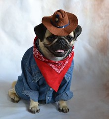 Cowboy Pug Boo Lefou (DaPuglet) Tags: pug pugs dog dogs animal animals pet pets cowboy costume coth coth5 sunrays5