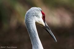 LRa01-26-17f-2309 (Glotzsee) Tags: nature florida indianrivercounty verobeach sandhillcrane bird birds outdoors outside glotzsee glotzseefloridaimages wildlife