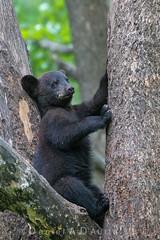 "Fear and Folklore  5394 (Dr DAD (Daniel A D'Auria MD)) Tags: ""blackbears"" bears ""bearcubs"" cubs ""bearsofnorthamerica"" ""bearsofminnesota"" ""bearsoforr"" ""ursusamericanus"" wildlife nature ""wildlifephotography"" ""naturephotography"" ""learningtolivewithnature"" ""animalsoftheworld"" ""fearofbears"" ""children'swildlifebooksbydanielad'auriamd"" ""drdadbooks"" ""danielad'auriamd"" ""june2017"" vinceshutewildlifesanctuary orr minnesota"