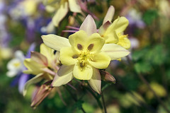 Yellow Aquilegia (Johnnie Shene Photography(Thanks, 2Million+ Views)) Tags: yellow aquilegia columbine frontview stamen petal corolla nature natural wild wildlife livingorganism tranquility adjustment interesting awe wonder fulllength depthoffield bokeh lighteffect korea asia beautiful photography horizontal outdoor colourimage fragility freshness nopeople foregroundfocus flora floral flower flowering plant growing growth spring day vivid sharpness daylight single one elegance stockphoto stunning gorgeous fabulous macro closeup magnified bright peace isolated canon eos600d rebelt3i kissx5 sigma 1770mm f284 dc lens 매발톱꽃 꽃 봄 봄꽃 노란 노랑