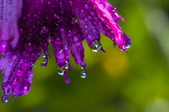 Fresh colors (lkiraly72) Tags: fresh colorful summer happy petals poppy droplet waterdrop macro