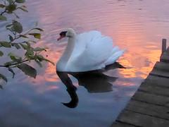 Swan, continued (yooperann) Tags: mute swan east bass lake gwinn upper peninsula michigan sunset light reflected pink clouds