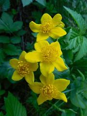 Caltha palustris (Lalallallala) Tags: helsinki finland suomi uutela outdoors calthapalustris rentukka marshmarigold kingcup