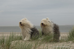 life is better at the beach (dewollewei) Tags: old english sheepdogs oldenglishsheepdog oes bobtail dewollewei sophieand sarah sophieandsarah