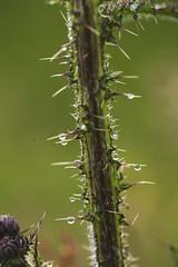 Scotland 2017 (agnes.saabythomsen) Tags: roadtrip turmedjannik makro macro drips drops rain regn dråber hermitagecastle