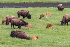 Bison cows and calves along the Madison River
