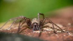 "House Spider • <a style=""font-size:0.8em;"" href=""http://www.flickr.com/photos/113525448@N03/35252556256/"" target=""_blank"">View on Flickr</a>"