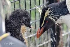 Northern Rock Hopper Penguin and Chick (Karen Miller Photography) Tags: edinburghzoo zoo captivity captive edinburgh baby penguin animal nikon rzss scotland enclosures karenmillerphotography