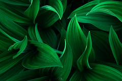 Your Secret Flame (DBPhotographe) Tags: leaf plant background abstract texture curves gentian nature