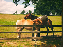 2017-06-14_13-15-19 (torstenbehrens) Tags: pferde zaun kreis plön schleswigholstein deutschland olympus epm1 digital camera