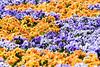 20170420-DSC_9622 (compidoc) Tags: bluete blumenpflanzen hamburg kirschbluete plantenunblomen tiere tulpe vogel zustand