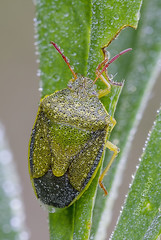 Dewy ... (Darius Baužys) Tags: pentatomidae piezodorus animal bug close detail dew dewy drops gorse insect lituratus macro nature outdoor shieldbug water wood wild dvispalvė skydblakė