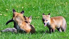 DSC_0764 (rachidH) Tags: fox renard vulpes foxcub renardeau redfox renardroux vulpesvulpes backyard frontyard wildlife sparta newjersey nj rachidh nature
