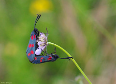 Zygaena (Darea62) Tags: zygaena butterfly moth insect flower sixspotburned filipendulae animal nature wildlife wildflower scabiosa love embrace