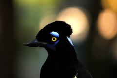 Urraca (Lautaro Jerez) Tags: argentina fauna naturaleza ave bird pajaro vuelo canon canonista entrerios elpalmardecolon parquenacional