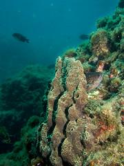 Sarcotragus fasciculatus (Cositos :)) Tags: sarcotragus fasciculatus ircinia esponja catedral marina del este almuñecar punta de la mona