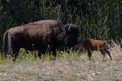 WOOD BISON (Bison bison athabascae), Alaska Highway (DESPITE STRAIGHT LINES) Tags: nikon d800 nikond800 nikkor2470mm nikon2470mm nikongp1 paulwilliams despitestraightlines flickr gettyimages getty gettyimagesesp despitestraightlinesatgettyimages alaskahighway liardhotsprings canada britishcolumbia bison bisonandcalf bisonandherbaby americanbison bullwoodbison buffalo bisonbisonathabascae