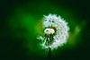 Pusteblume (micha-m) Tags: pusteblume blowball green grün abstract makro macro plant pflanze
