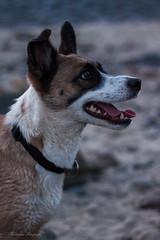 dog (alex.hartsema) Tags: dog pet animal huisdier strand ritthem canon 500d eos 24205l f4l zeeland beach