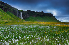 Seljalandsfoss spring (snowyturner) Tags: iceland waterfall foss flowers volcanic landscape sky spring