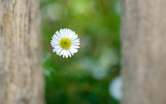 Cache-cache avec Miss Daisy (christophe.laigle) Tags: fleur macro xf60mm nature flower fuji daisy xpro2 pâquerette christophelaigle