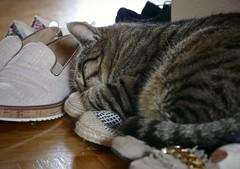 The little shoe fetishist, part 2 (evakatharina12) Tags: cat tabby kitty shoe sleep pet animal panasonic fz1000 indoor