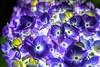 紫陽花 (milk777) Tags: あじさい 紫陽花 ライトアップ 権現堂