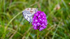 Marbled White Butterfly (Melanargia galathea) on Pyramidal Orchid (Anacamptis pyramidalis) (BiteYourBum.Com Photography) Tags: dawnandjim dawnjim biteyourbum biteyourbumcom copyright©2017biteyourbumcom copyright©biteyourbumcom allrightsreserved canoneos7d canonefs60mmf28macrousm sigma50500mmf4563dgoshsm canonef1740mmf4lusm apple imac5k lightroom5 ipadair appleipadair camranger lrenfuse focusstacking polaroidautofocusdgmacroextensiontubes manfrotto055cxpro3tripod manfrotto804rc2pantilthead loweproprorunner350aw uk unitedkingdom gb greatbritain england westsussex marbledwhite butterfly melanargia galathea marbledwhitebutterfly melanargiagalathea pyramidal orchid anacamptis pyramidalis pyramidalorchid anacamptispyramidalis