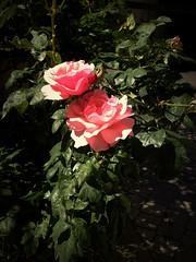 Rose flower, роза (Anna Gelashvili) Tags: цветок flower flowers цветокроза сад garden rose plant
