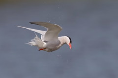 Common tern headshake (mandokid1) Tags: canon ef400mmdo 1dx canon7dmk11 birds terns