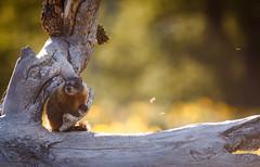 024A7978 (scepdoll) Tags: pilgrimcreekroad grandtetonnationalpark wyoming marmots wildlife findyourpark