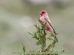 Great Rosefinch (Carpodacus rubicilla) (gilgit2) Tags: avifauna birds canon canoneos7dmarkii category fauna feathers geotagged gilgitbaltistan greatrosefinchcarpodacusrubicilla hunza imranshah location pakistan shisparether species tags tamron tamronsp150600mmf563divcusd wildlife wings gilgit2 carpodacusrubicilla birds10