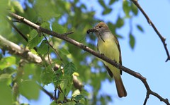 "***"" The bird and the dragonfly "" (ricketdi) Tags: bird tyranhuppé greatcrestedflycatcher myiarchuscrinitus explore27juin2017no1 coth5 sunrays5 ngc npc"