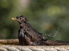 ...and flick! (Stu thatcher) Tags: bird uk water bath fast shutter speed birds wet splash britain england english worcester worcestershire