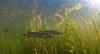 Hunters (Fish as art) Tags: esoxlucius northwestterritories northernpike nature north yellowknifebay yellowknife yellowknifeactivities yukon paulvecseiphotography light streams weeds greatslavelake