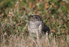 Cuco-Canoro // Cuculus Canorus // Common Cuckoo (Jangada2011) Tags: cucocanoro cuculuscanorus commoncuckoo