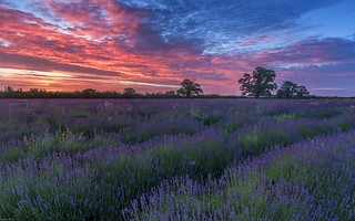 *Somerset lavender at dawn*