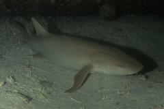 Squalo Nutrice sotto al Relitto del Kudima. Tawny Nurse Shark under Kudima's wreck. (Nebrius Ferrugineus). (omar.flumignan) Tags: squalonutrice kudima relitto wreck nebriusferrugineus tawnynurseshark arisouth arisud squalo shark atollo atoll ari maldive maldives allnaturesparadise flickrtravelaward ngc