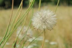 Ready... Set... Blow! (Suresh /R) Tags: nature closeup dandelion dandelions