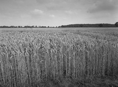 Wheat, Denton , Norfolk (John   Adrian   Orr   Photography) Tags: norwich norfolk shanghaigp3 ilfordlc29119 epsonv500scan black white monochrome fuji gs 645w 645 120 test